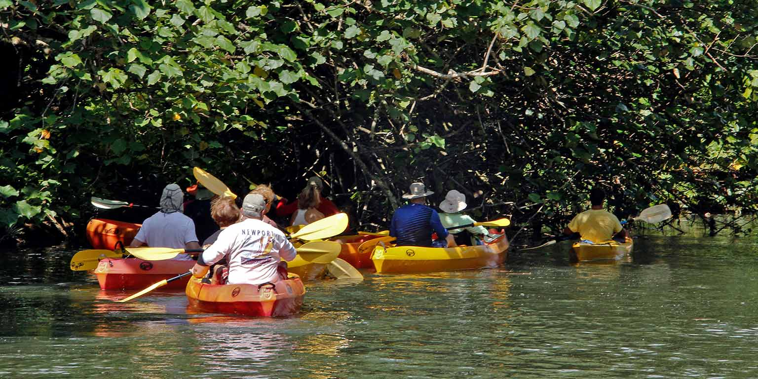 A group of people in orange and yellow kayaks paddle under a mangrove tree