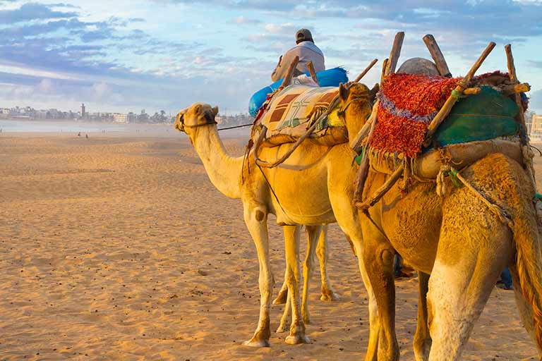 Two camels with multicolored saddles head across the desert toward a city
